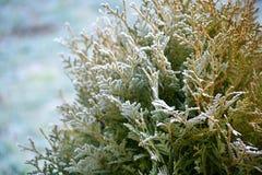 Grön buske som täckas med morgonfrost, fryst växt, vinterplats Royaltyfri Fotografi