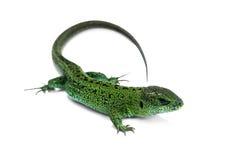 Grön ödla Royaltyfri Fotografi