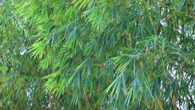grön dunge för bambu stock video