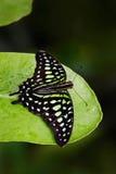 Grön fjäril på gröna sidor Den härliga fjärilen Tailed nötskrikan, Graphium agamemnon som sitter på sidor Kryp i den mörka vändkr Arkivbilder