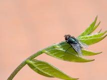 Grön flugaaka greenbottle, på wisteriabladet Arkivfoton