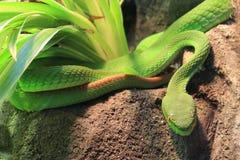 Grön grophuggorm Arkivfoto
