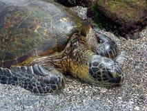 grön hawaiansk havssköldpadda Royaltyfri Foto