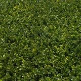grön häck Royaltyfri Foto