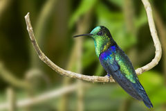 Grön-krönad Woodnymph Hummingbird Royaltyfri Fotografi