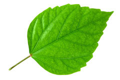 grön leaf Arkivfoton
