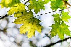 Grön lönnlöv utomhus Arkivbilder