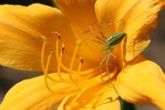 Grön lodjurspindel på lilja Fotografering för Bildbyråer