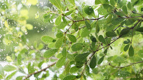 Grün lässt Hintergrund, Wassertröpfchen auf Glasfenster Stockfotografie