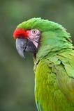 grön macaw Arkivfoto