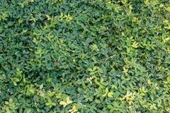 grön modell för växt av släkten Trifolium Royaltyfria Foton