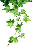grön murgröna Arkivfoto