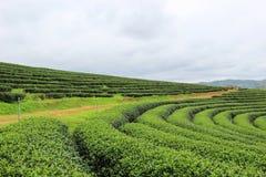 Grön natur på Choui Fong Tea Plantation Arkivfoton