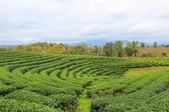 Grön natur på Choui Fong Tea Plantation Arkivfoto
