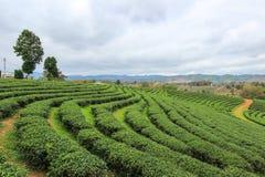 Grön natur på Choui Fong Tea Plantation Fotografering för Bildbyråer