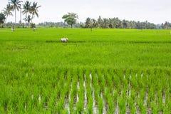 Grön risfält i Indonesien Jordbruk Arkivbilder