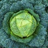 grön savoy för kål Royaltyfri Foto