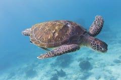 Grön sköldpadda (Cheloniamydas) på den Similan ön, Thailand Fotografering för Bildbyråer