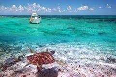 Grön sköldpadda som är undervattens- i det karibiska havet Arkivbilder