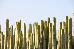 Grön stor kaktus i öknen Arkivbilder