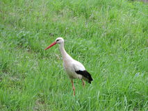 grön stork för gräs Fotografering för Bildbyråer