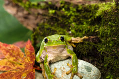 Grön trädgroda för europé som lurar för rov i naturlig miljö Arkivfoto