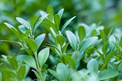 Grün verlässt auf Zweigen von Buxus im Sommer Lizenzfreie Stockbilder