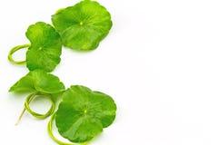 Gröna asiatiska Pennywort (asiatica Centella) på vit bakgrund Royaltyfri Bild