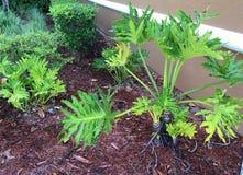 Gröna buskar Odd Shaped och komposttäckning Royaltyfri Foto