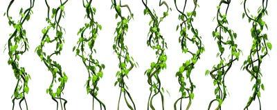 Gröna djungelvinrankor som isoleras på vit bakgrund Arkivfoton
