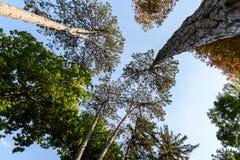 Gröna Forest Trees On Blue Sky Arkivfoton