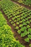Gröna grönsallatskördar i tillväxt Fotografering för Bildbyråer