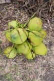 Gröna kokosnötter Arkivfoto