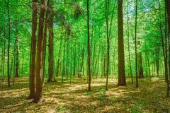 Gröna lövfällande Forest Summer Nature soliga trees Fotografering för Bildbyråer
