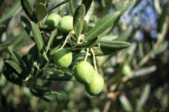gröna olivgrön för filial Royaltyfri Bild