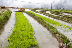 Gröna ris som växer på lantgård Fotografering för Bildbyråer