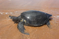 gröna Stillahavs- havssköldpaddor Arkivbilder