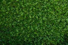Gröna tjänstledigheter täcker väggen Royaltyfri Foto