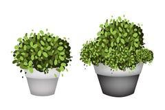 Gröna träd i terrakottablomkrukor på vit bakgrund Arkivfoton