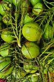 Gröna unga kokosnötter Royaltyfria Bilder