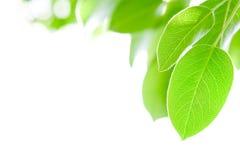 Grünblätter Lizenzfreies Stockfoto