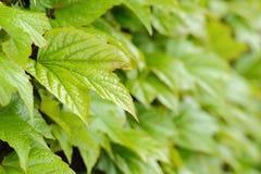 Grünblätter des Efeus Stockbild