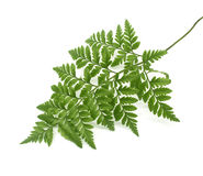 Grünblätter des Farns Lizenzfreies Stockbild