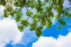 Grünblätter gegen den Himmel Stockfotografie