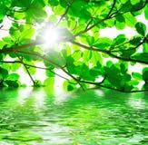 Grünblätter und -wasser Stockfotografie