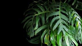 Grünblätter von Monstera pflanzen das Wachsen in wildem, den tropischen Vorabend Stockfoto