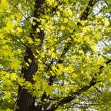 Grüne Ahornblätter Junges Laub gegen blauen Frühling oder Sommer Lizenzfreie Stockbilder