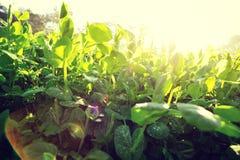 Grüne Erbse im Wachstum am Gemüsegarten Lizenzfreie Stockbilder