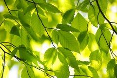 Grüne Frühlingsblätter Lizenzfreies Stockfoto