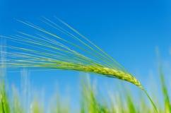 Grüne Gerste auf Feld und blauem Himmel Stockfotos